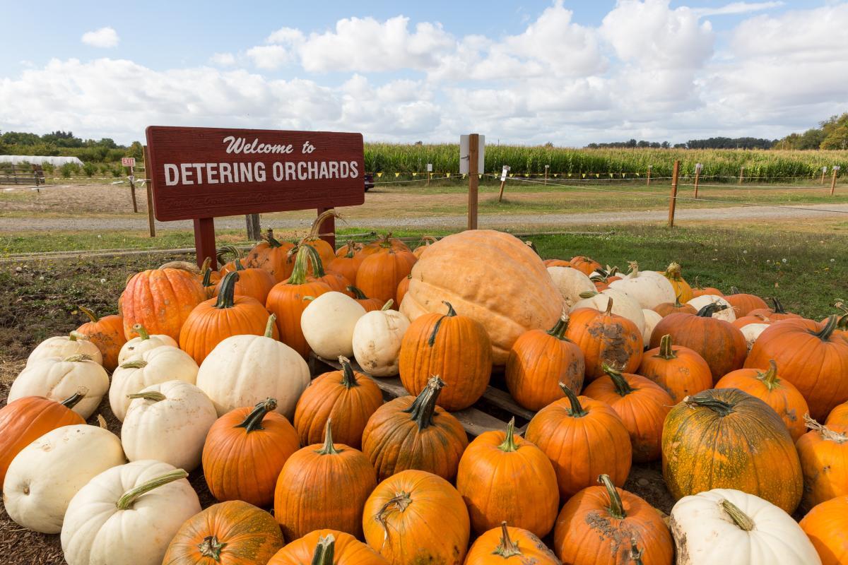 Pumpkins at Detering Orchards