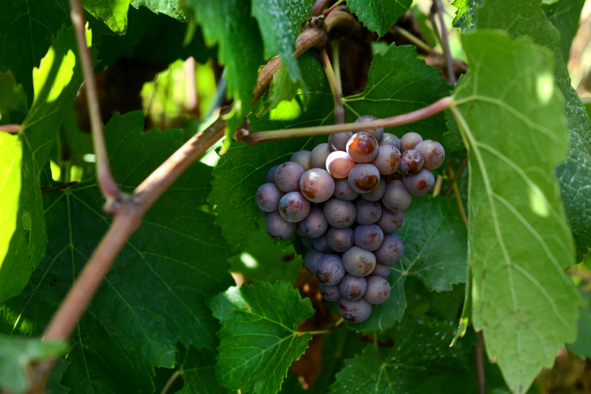 Grapes at Pfeiffer Vineyard by Colin Morton