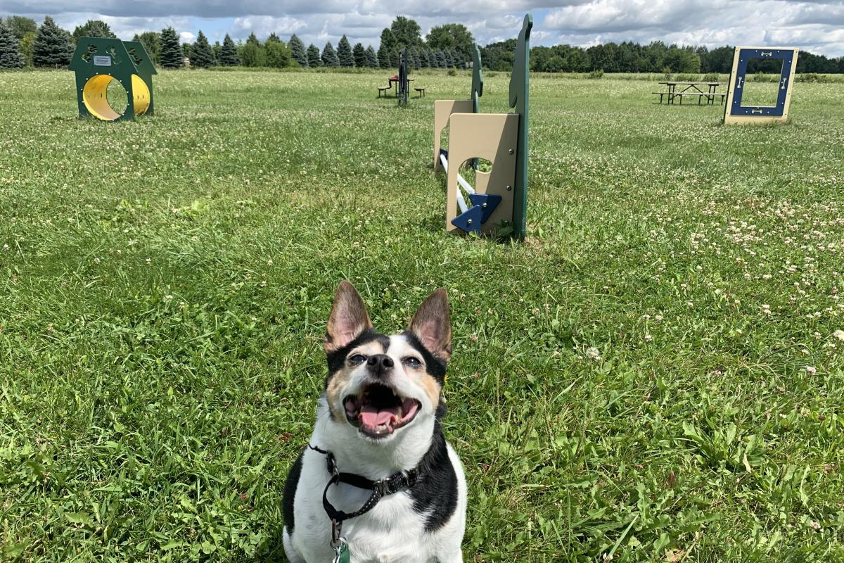 A dog sits patiently and waits to run an agility course