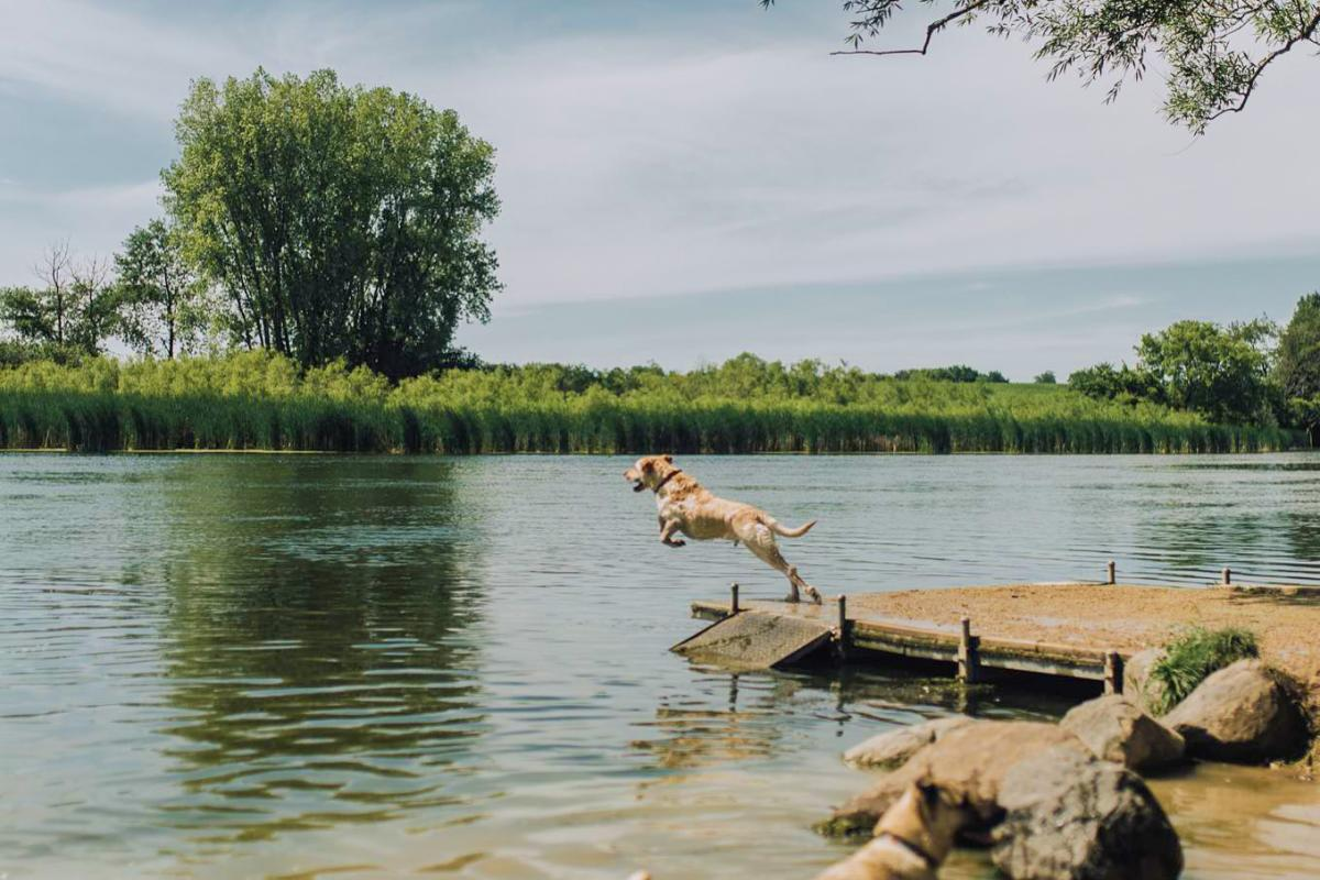 A dog jumping off a pier into the water