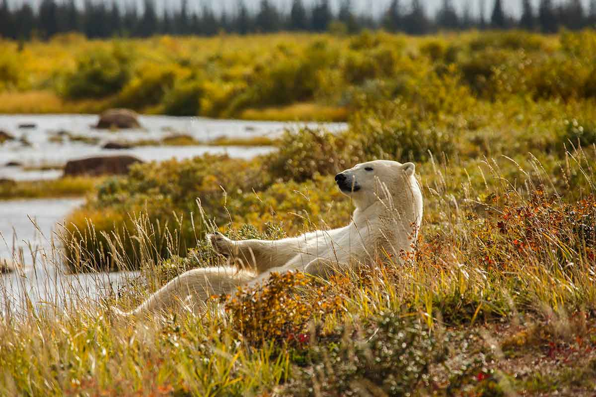 Polar bear lounging in the fall grasses - Churchill Wild