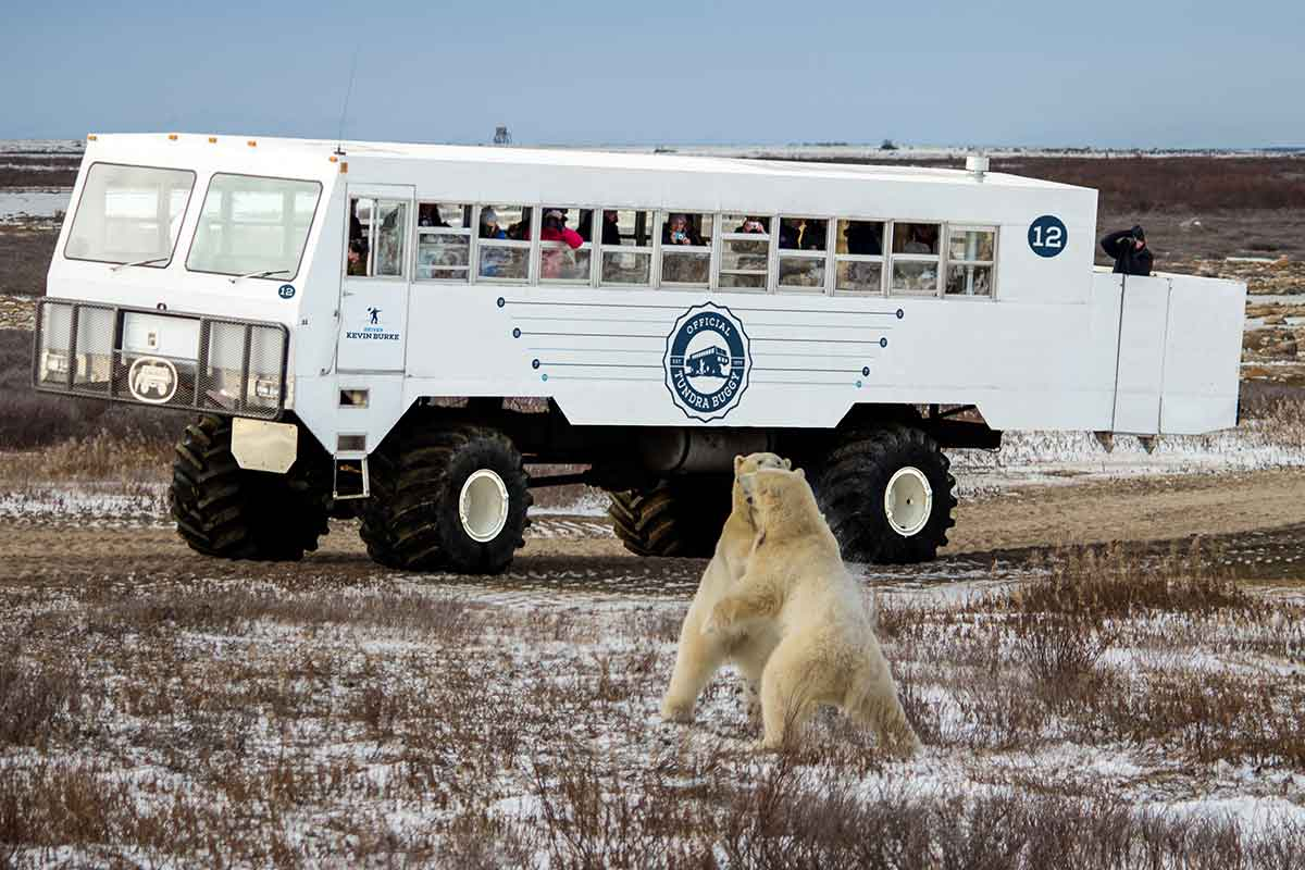 Polar bears fighting in front of a buggy - Frontiers North