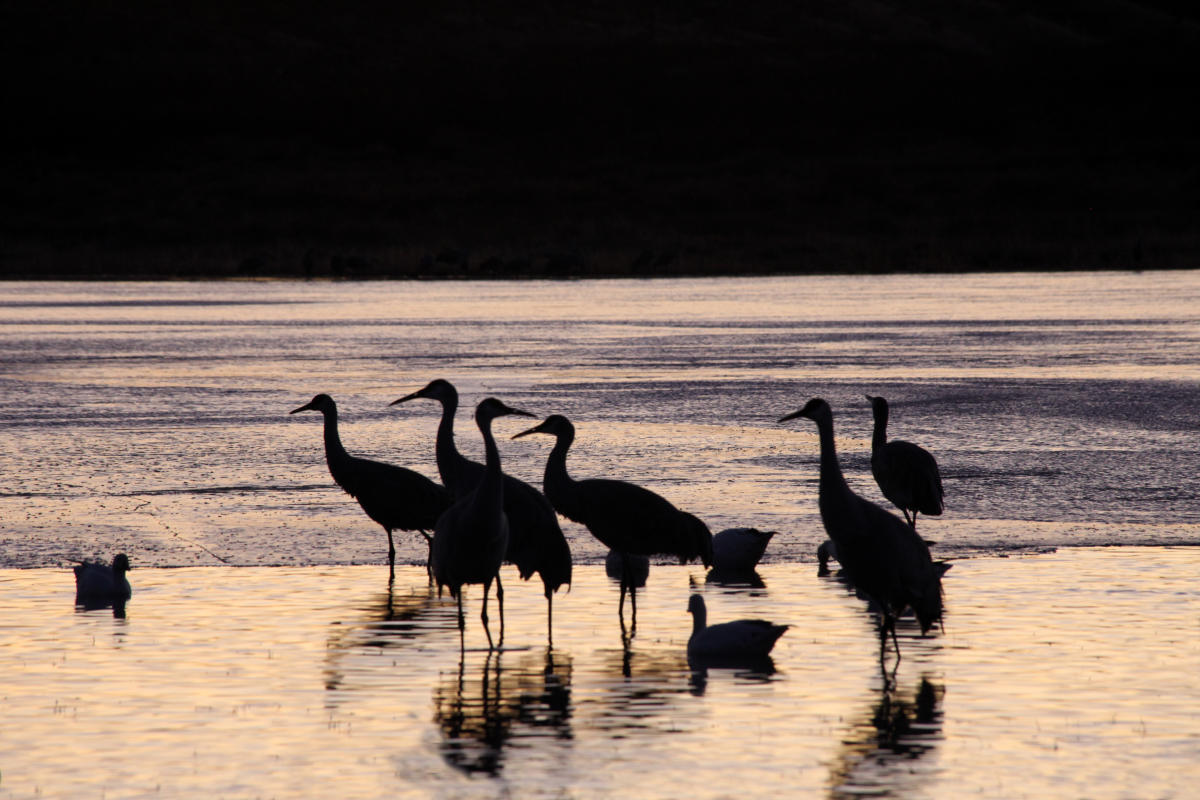 Birds standing in water backlit at sunset at the Paseo Del Bosque Trail in Albuquerque
