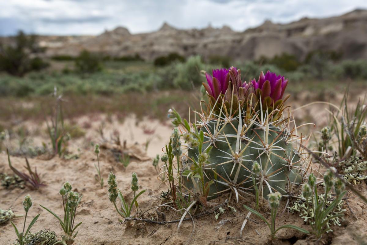 Clover's cactus blooms.