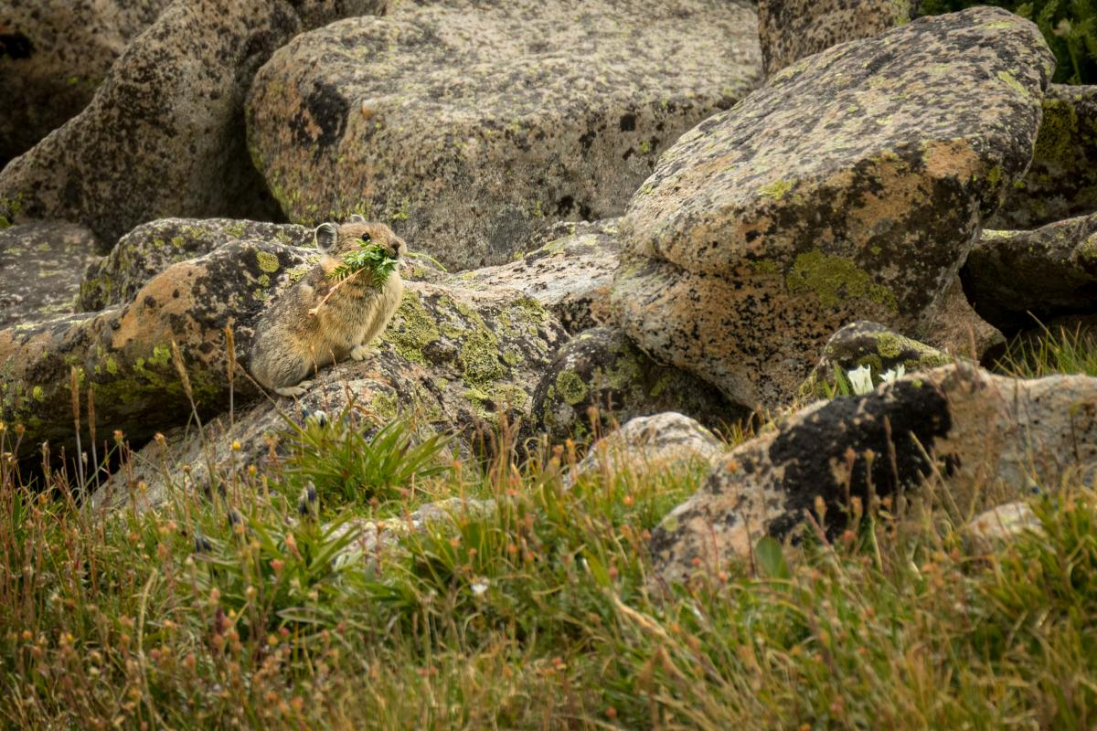 A pika gathers food near Trampas Lakes, New Mexico Magazine