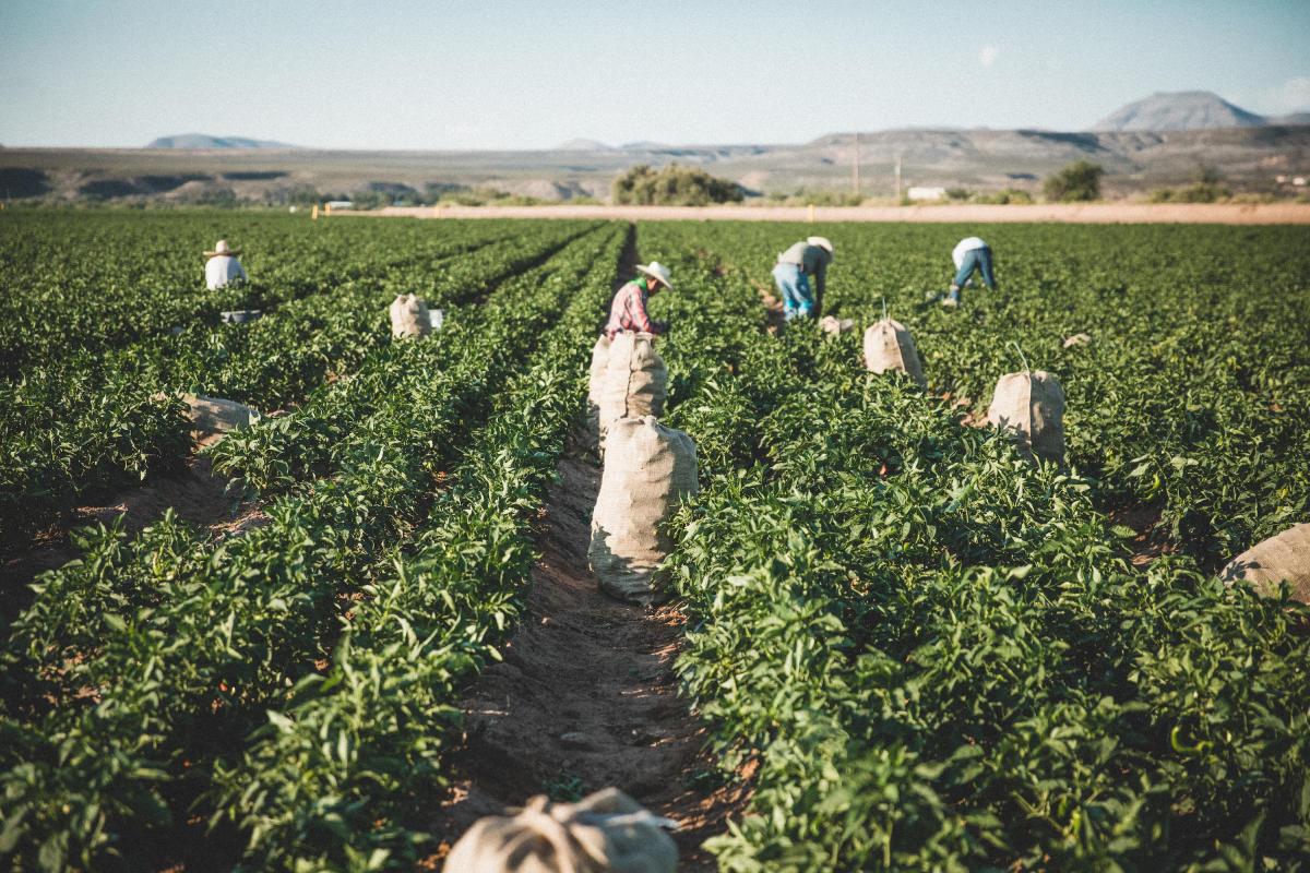 Hatch Chile Story Harvest