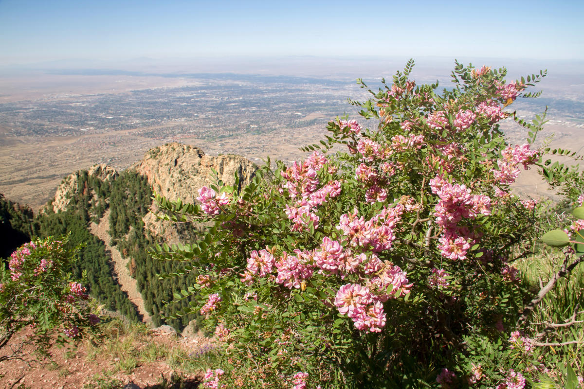 Robinia neomexicana - New Mexico Locust