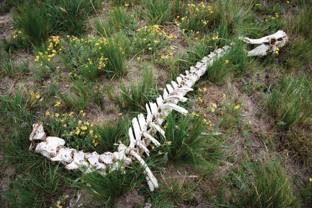 An elk skeleton in the Valles Caldera
