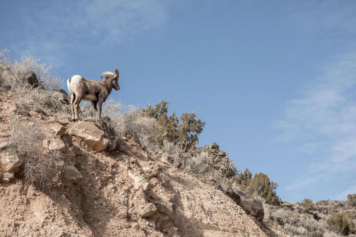 Bighorn on the rocks