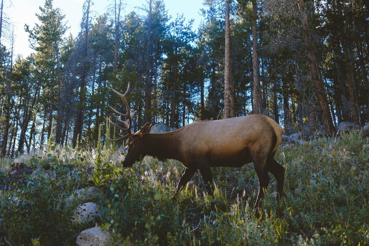 An Elk in the wild