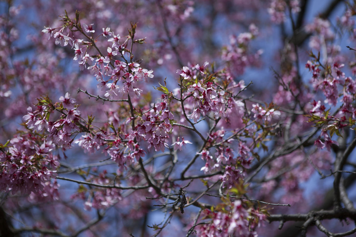 cherry tree, bbg