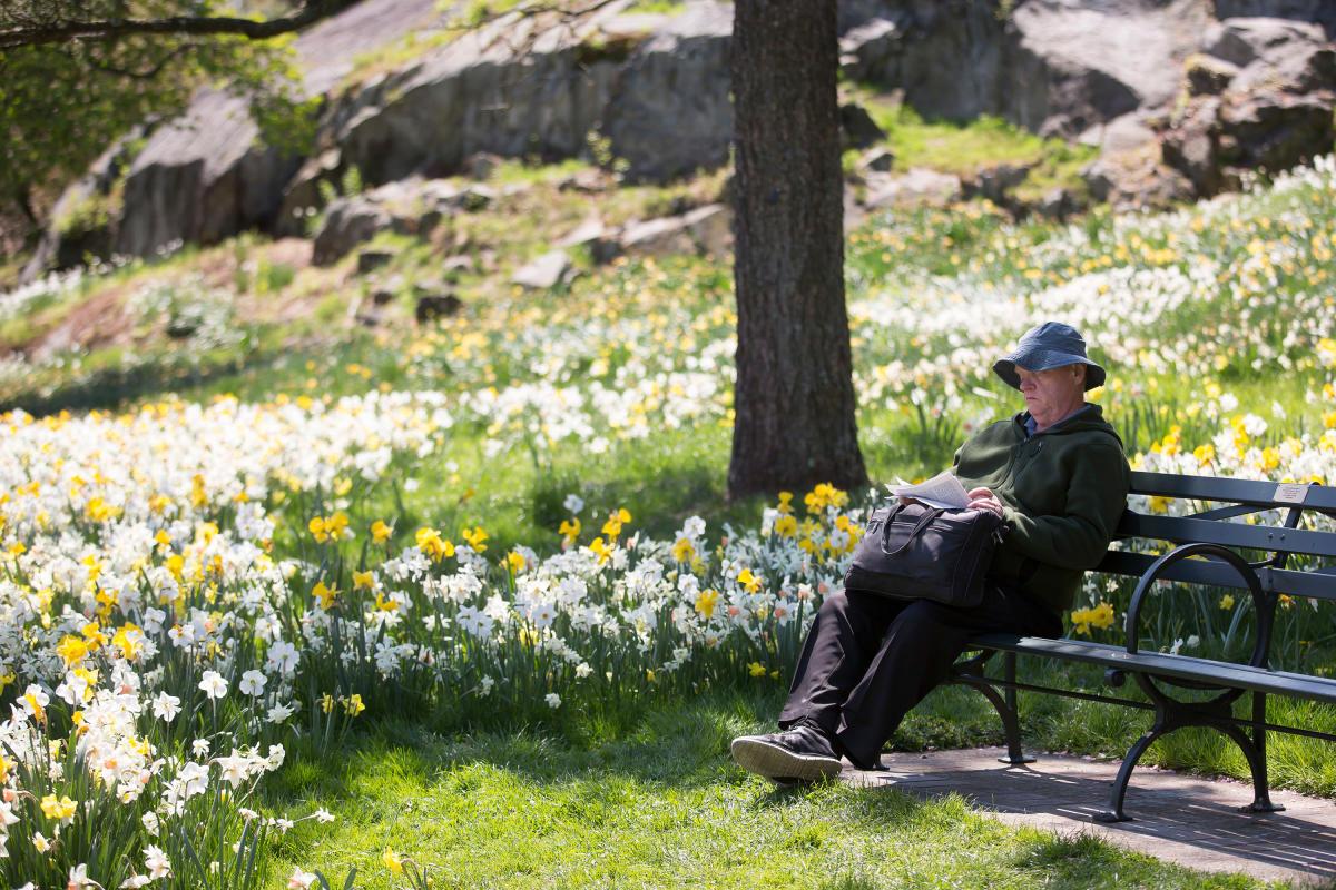 NYBG, daffodils