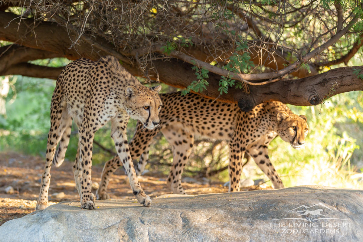 Cheetahs at the Living Desert Zoo & Gardens.