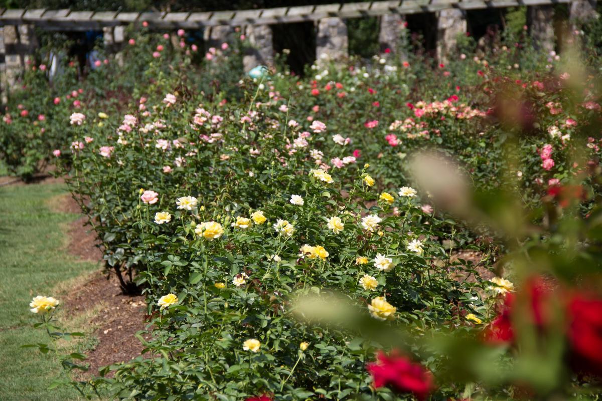 Raleigh Rose Garden large