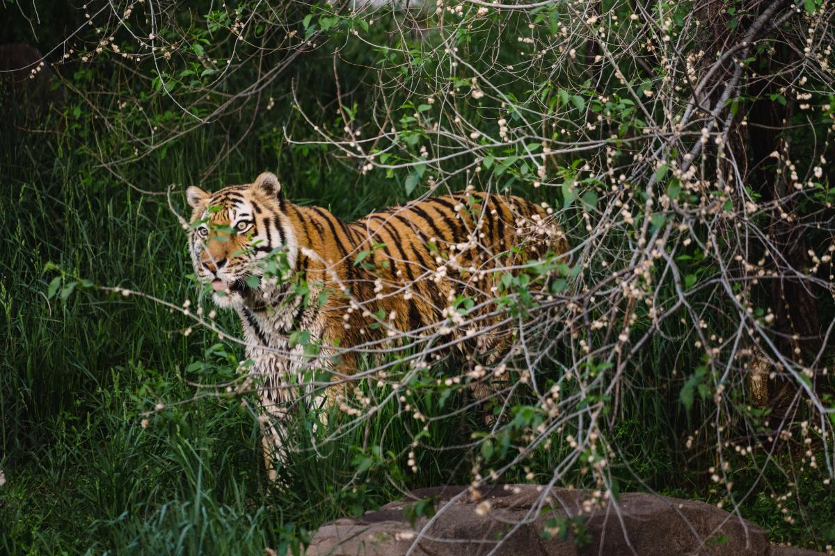 Tiger at Utah's Hogle Zoo
