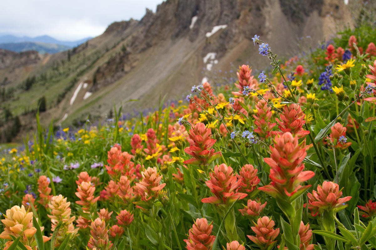 Wildflowers in Mineral Basin at Snowbird
