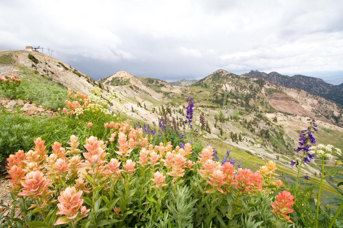 Wildflowers at Mineral Basin at Snowbird