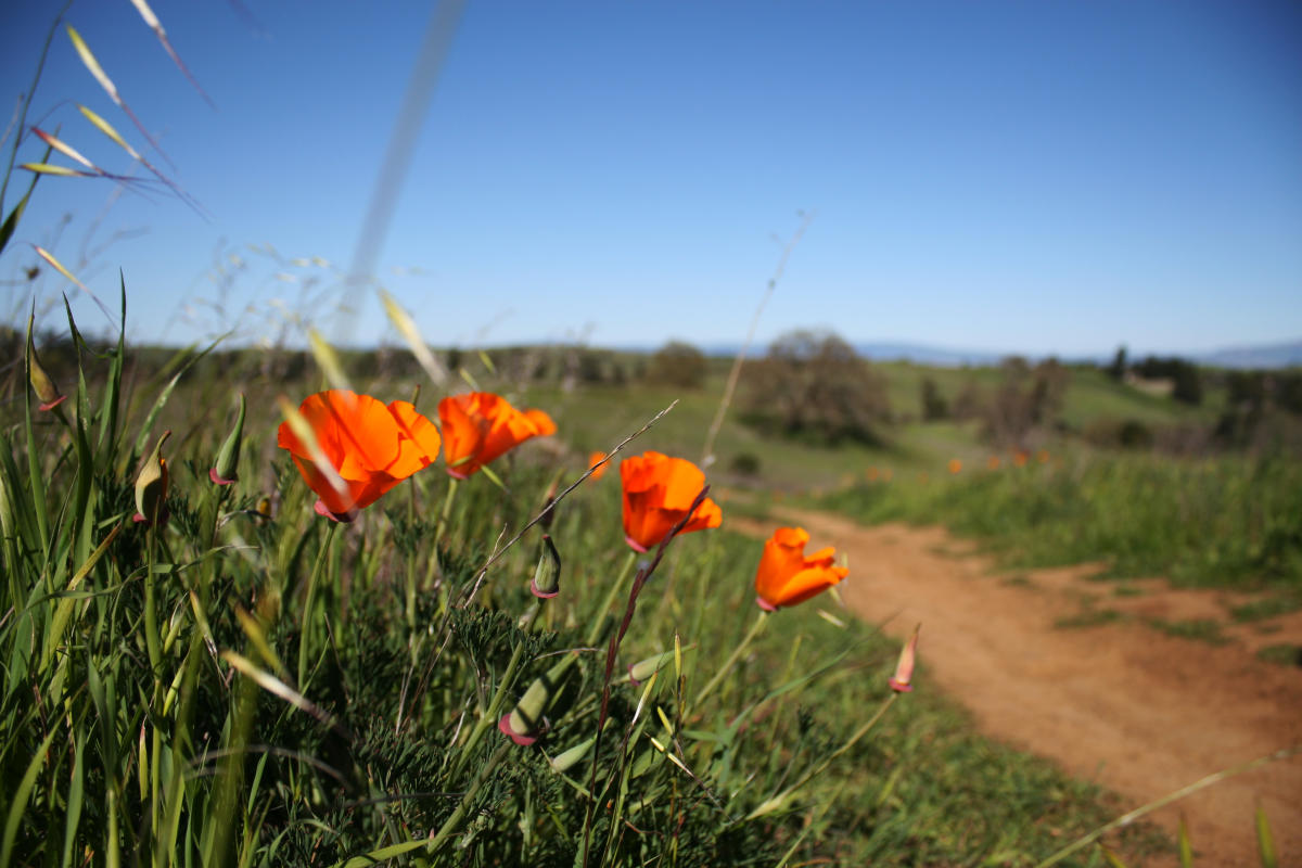Poppy flower grown next to a Palo Alto trail