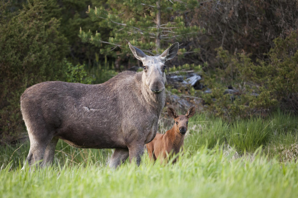 A moose with a calf looking at the camera