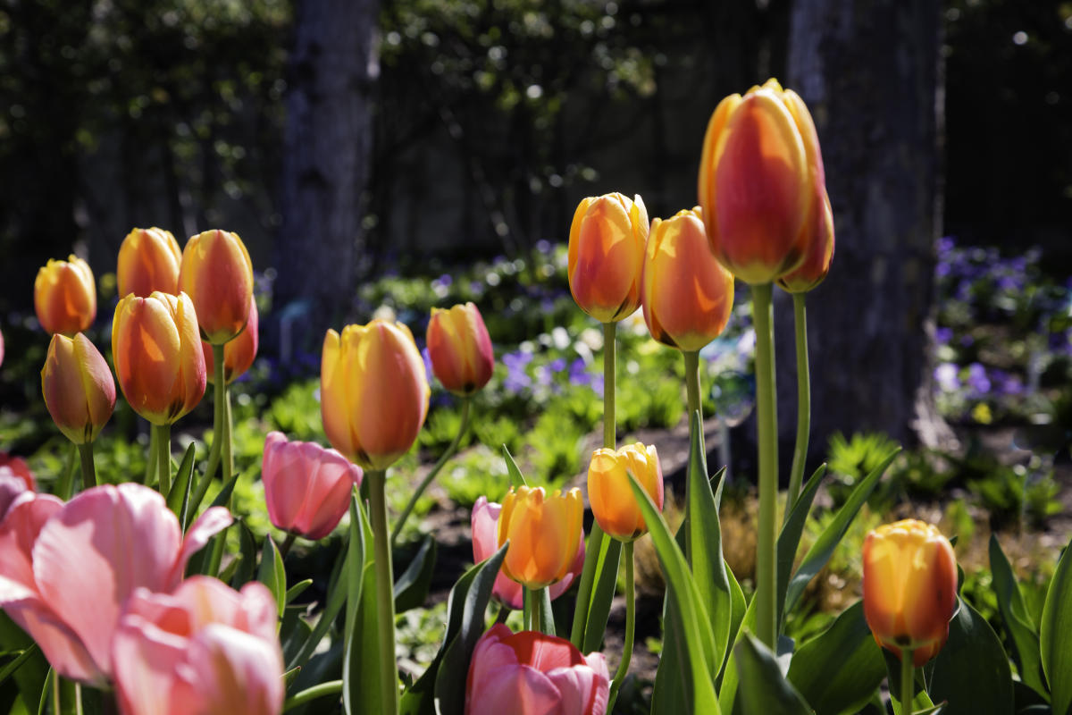 tulip - smugmug