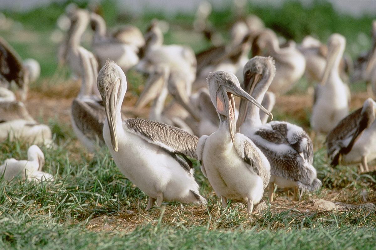 A group of Pelicans at North Carolina National Estuarine Research Reserve