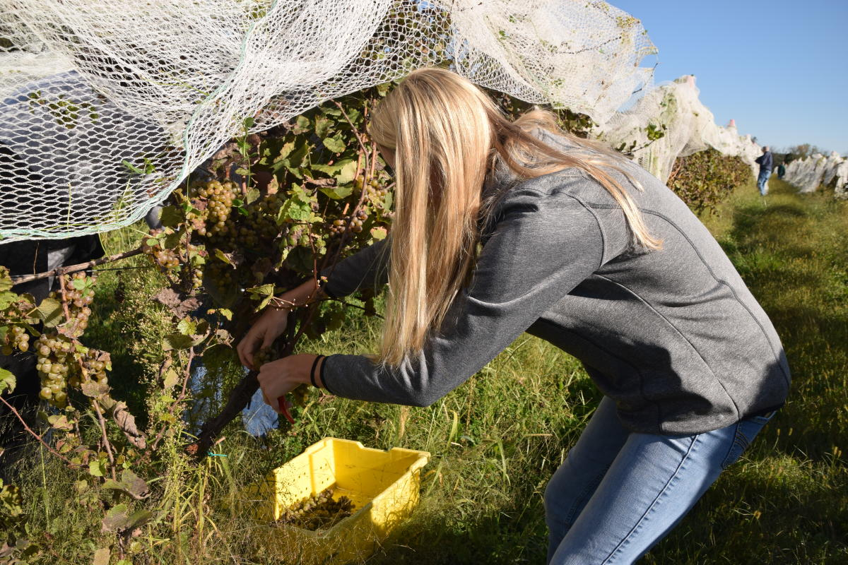 Picking grapes at Wycombe Vineyards