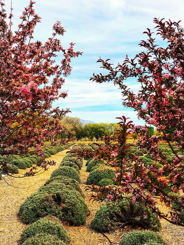 poblanos lavender field