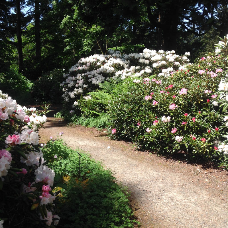 walking trail through rhododendrons