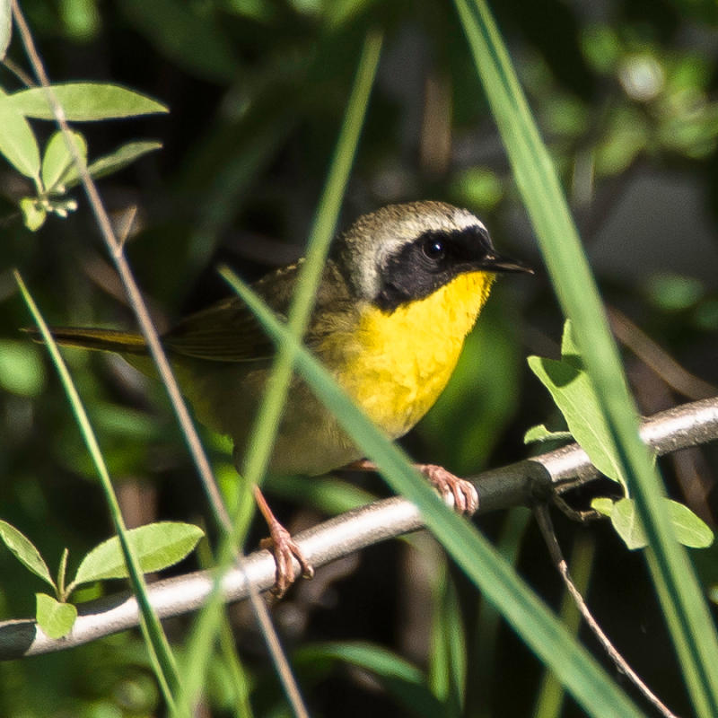 Common Yellowthroat Bird