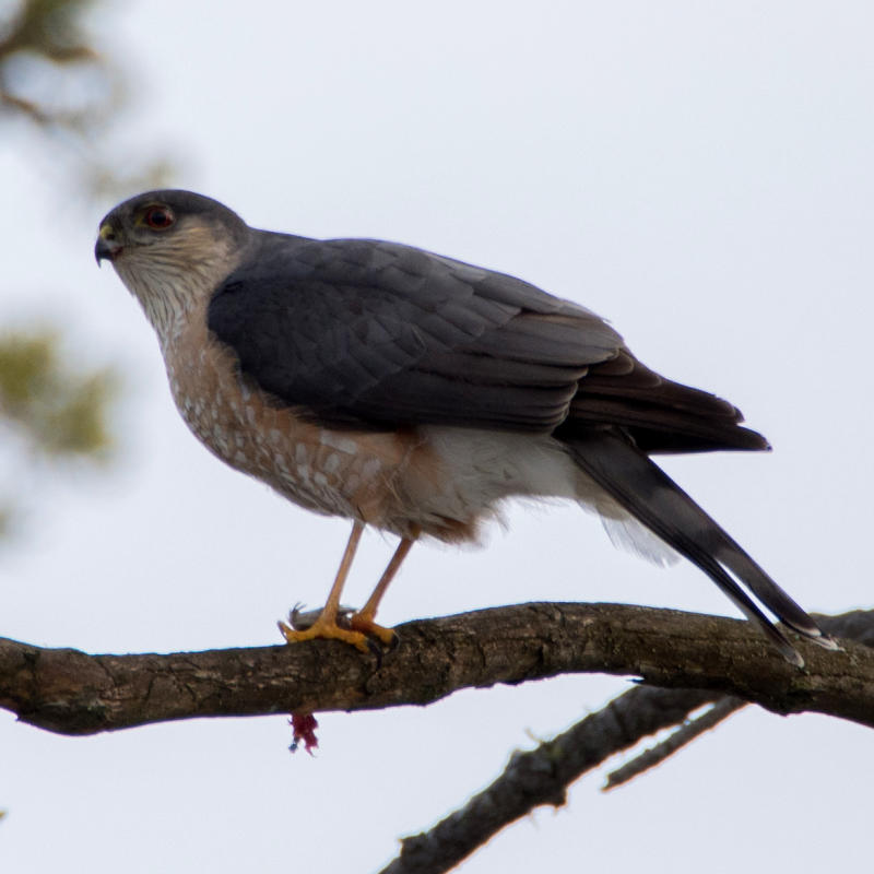 Sharp Shinned Hawk Bird