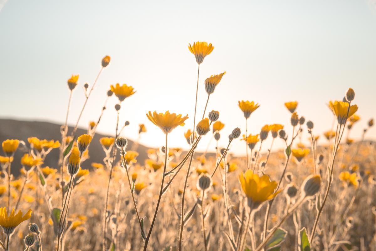 Yellow desert sunflowers in a field