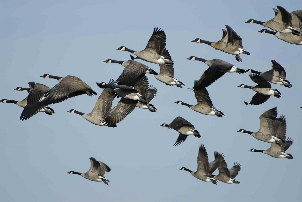 geese in flight-med