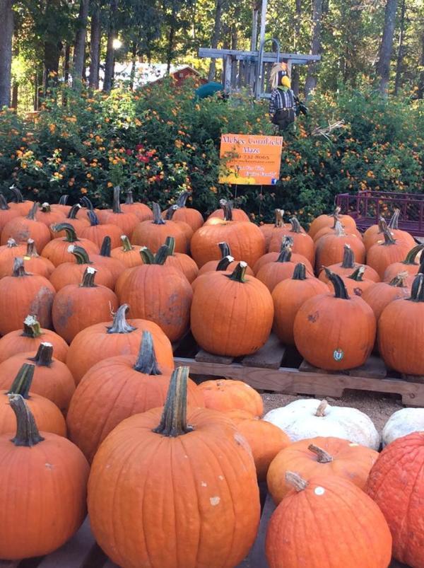 Pumpkins at McKee's Cedar Creek Farm
