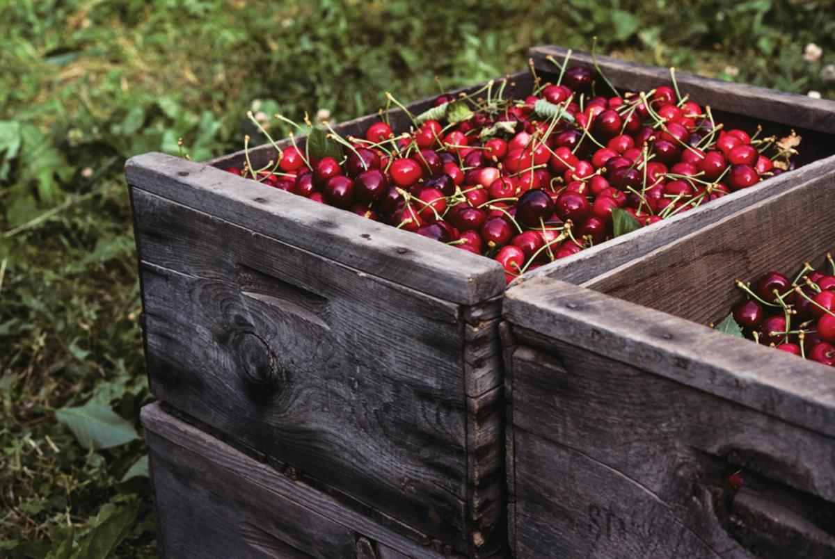 Fresh Okanagan cherries - Kelowna, BC