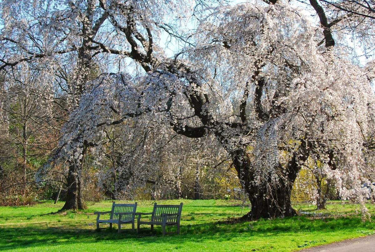 morris arboretum cherry blossoms