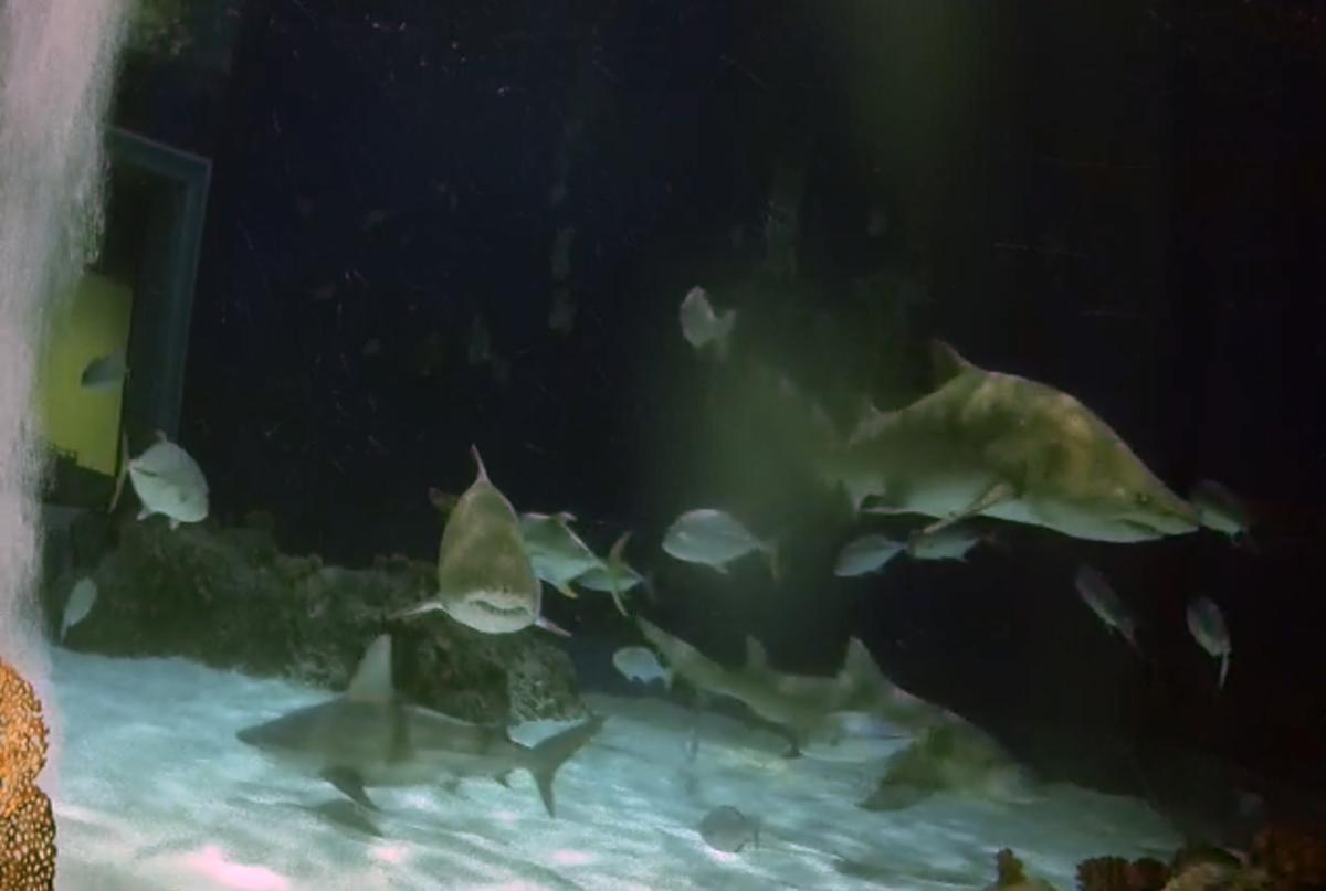 Sharks at OdySea Aquarium Virtual Tour