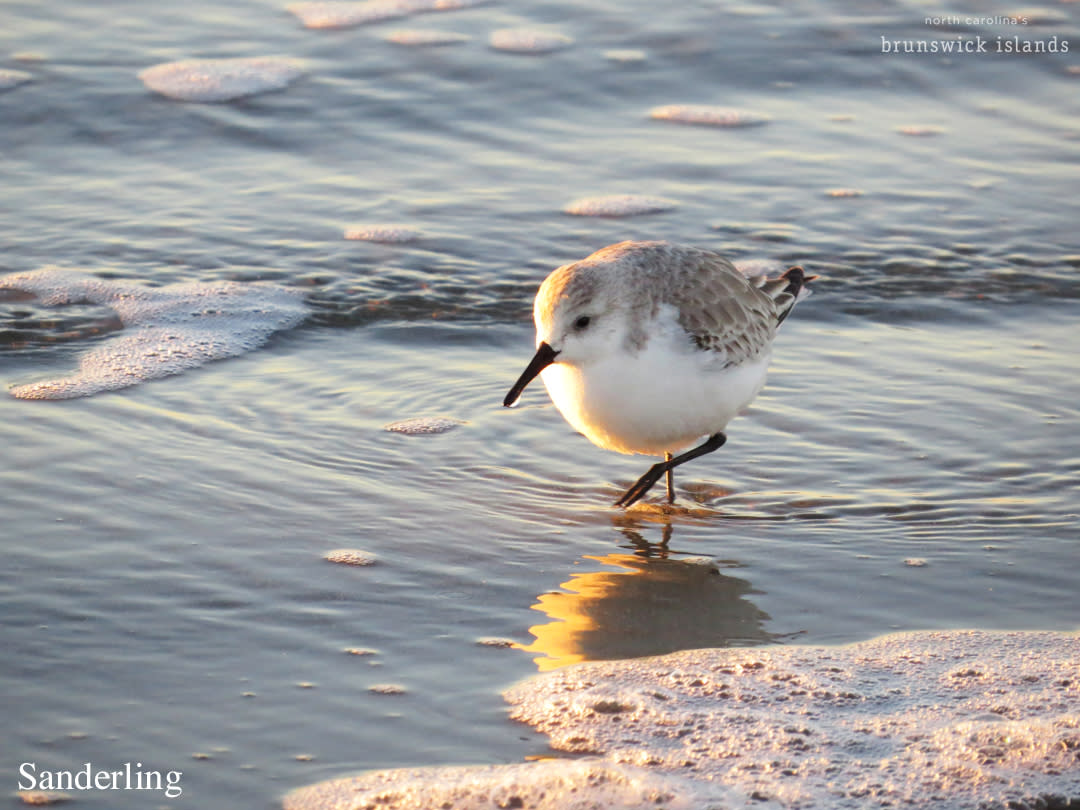 Birds_Sanderling