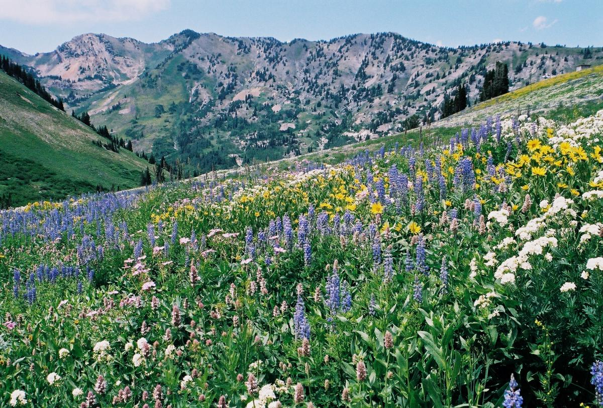 Albion Basin Wasatch Wildflower Festival