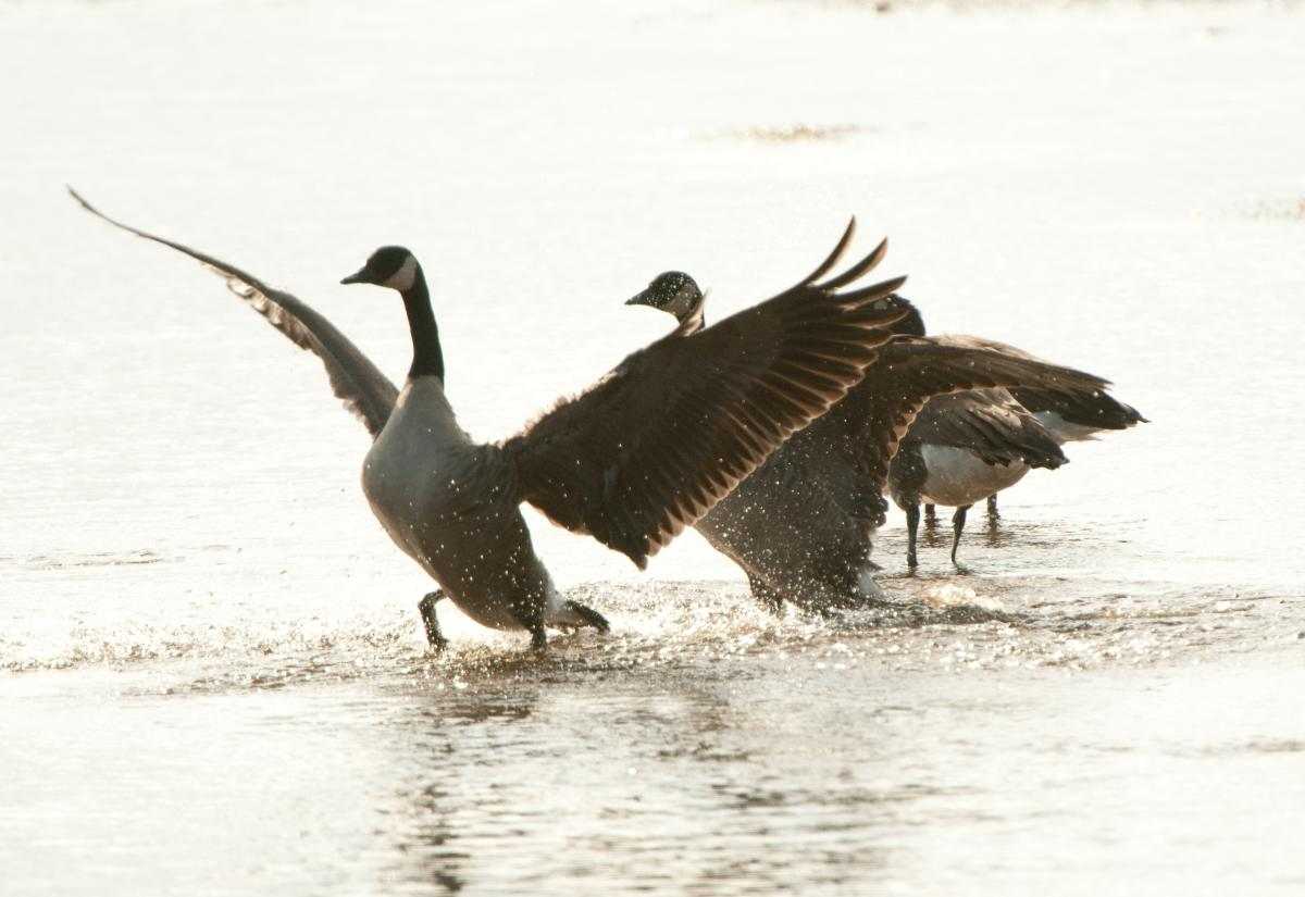 Three geese in water, one has its wings open