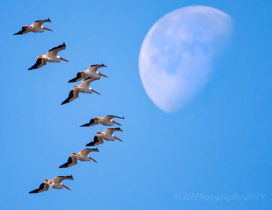 A flock of Sandhill Cranes flying in Huntsville, AL