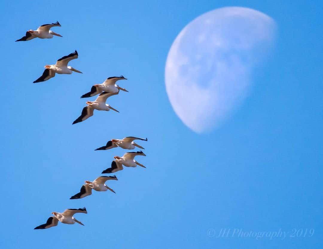 A flock of Sandhill Cranes flying in Huntsville, AL