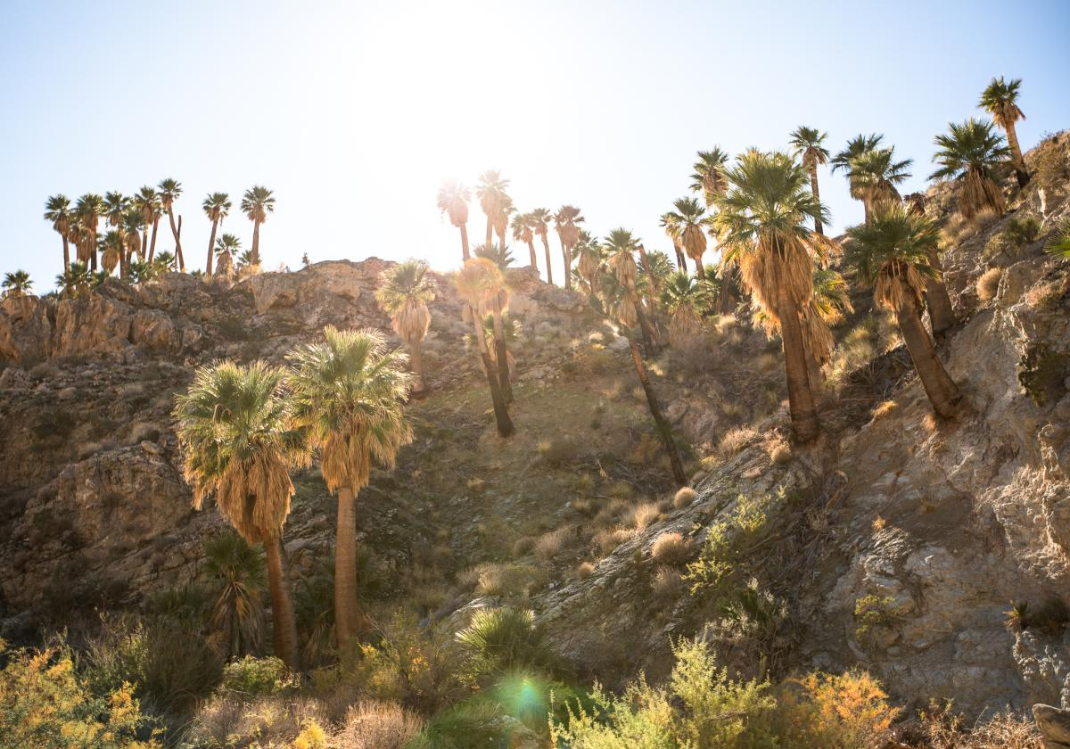 A cluster of palm trees as seen from the East Fork Trail in Indian Canyons