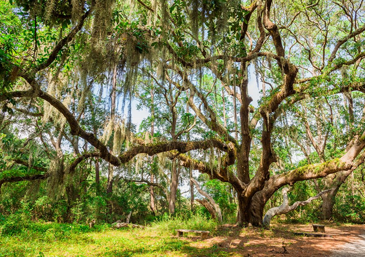 Moss-covered trees and park benches along the John Gilbert Nature Trail on St. Simons Island