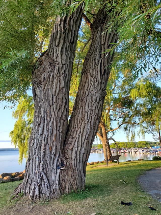 v-tree-kershaw-park