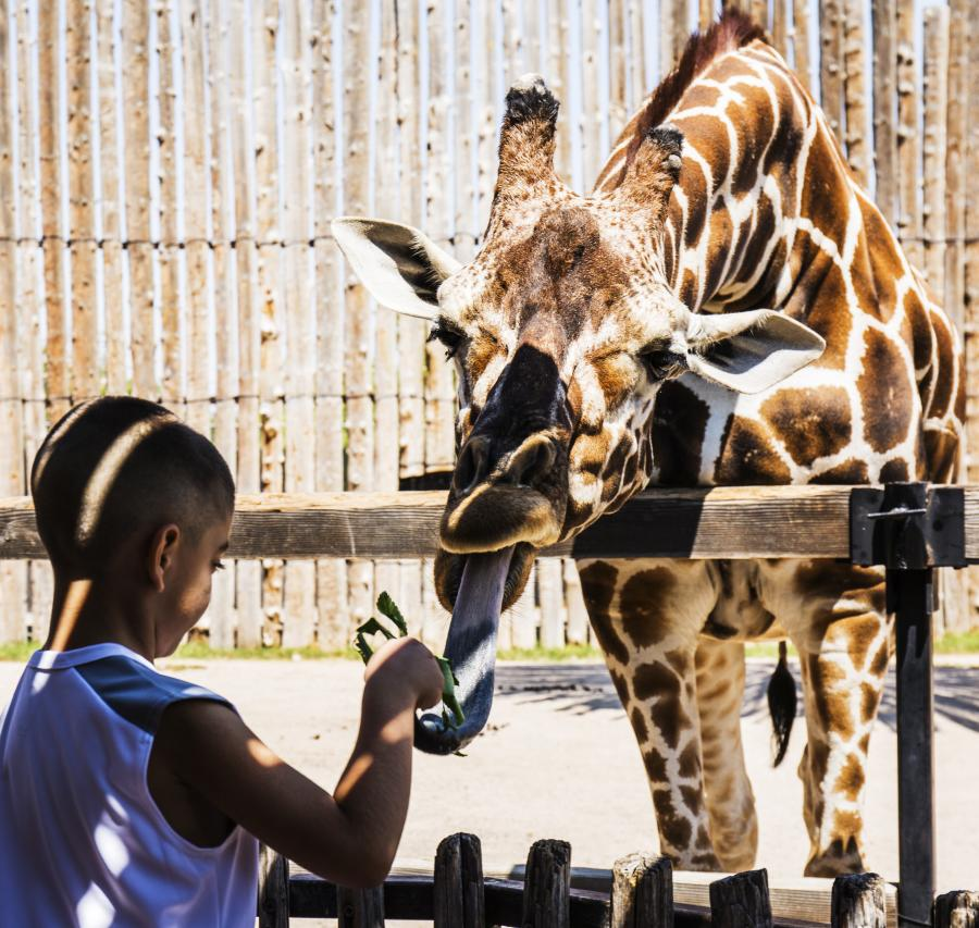 Boy at Zoo with Giraffe Family Kids