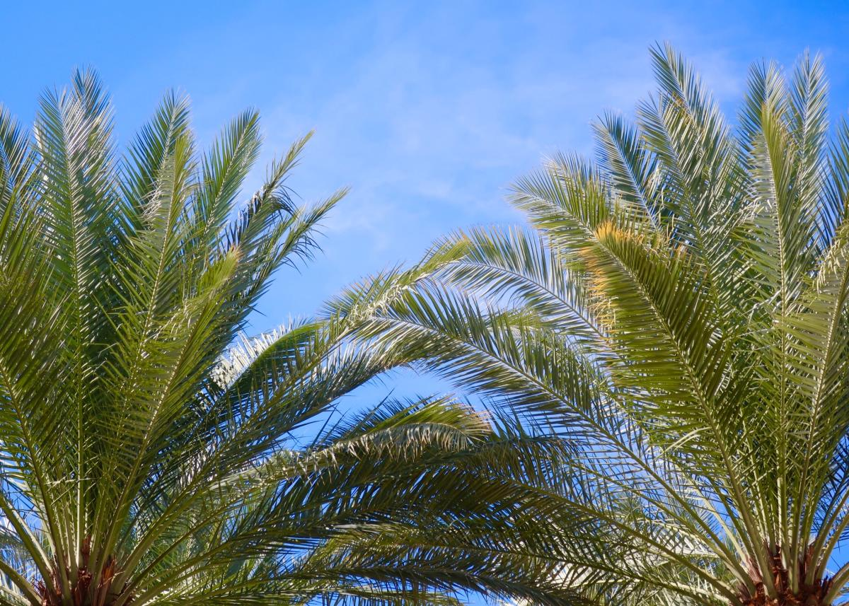 Top of two palm trees at The Coachella Valley Preserve Hike.