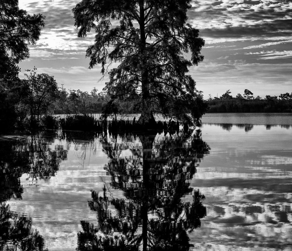 Blackwater River Cypress