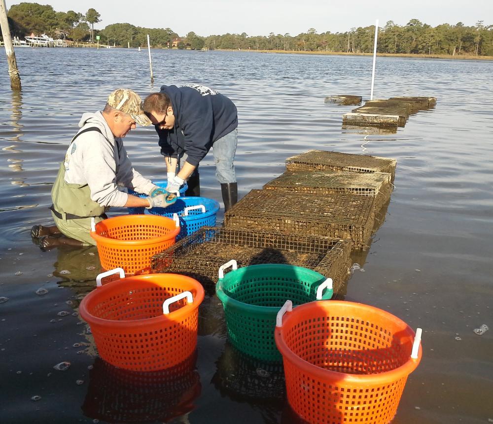 Oyster_Farming.jpg