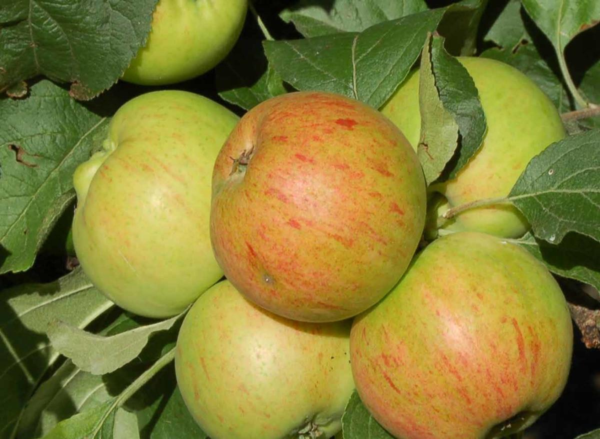 Epler fra Byglandsfjorden