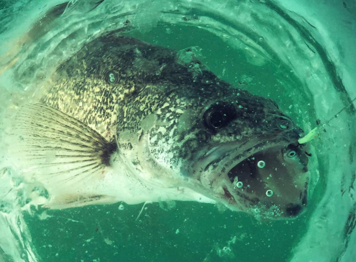 Close Up of a Walleye Fish